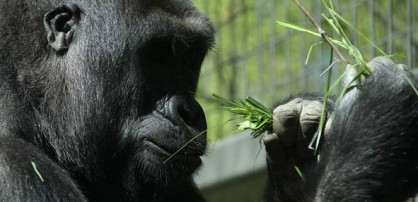 Liberty Island gorilla